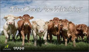 奶牛的凝视